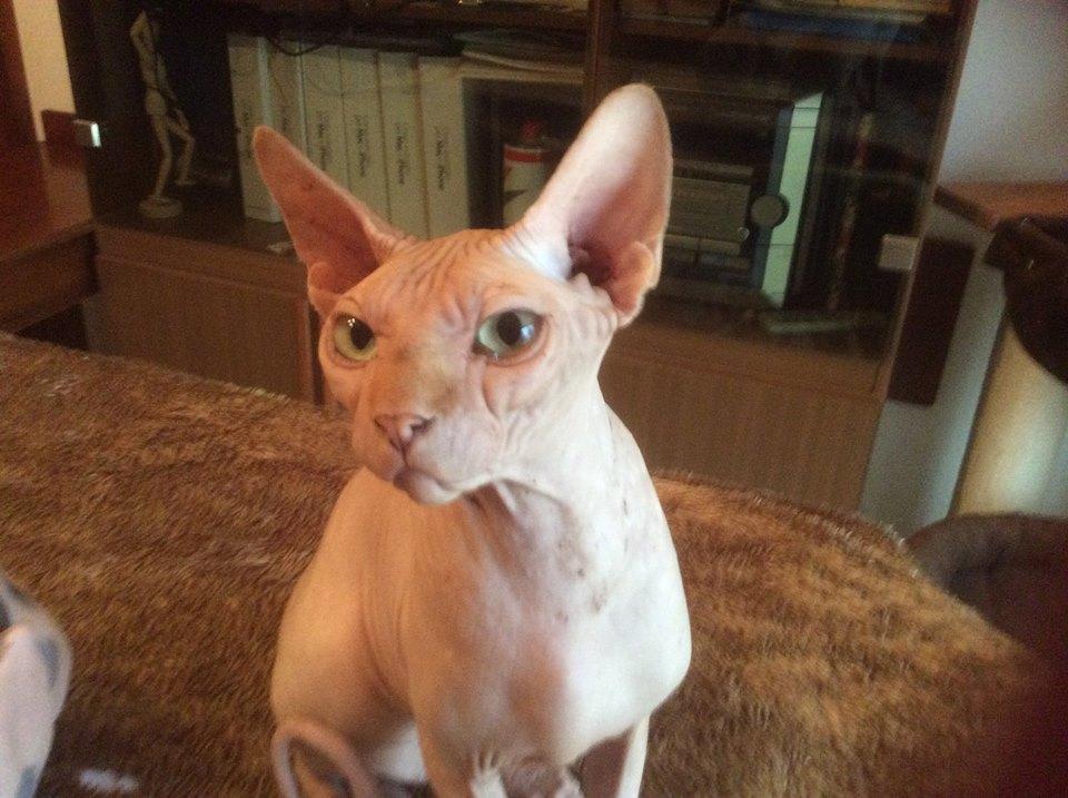 Gli Sphynx I Gatti Nudi Sono Senza Pelo E Hanno Bisogno Di