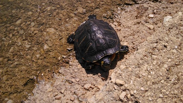 Galleria foto le tartarughe abbandonate a parco 2 giugno for Lago tartarughe