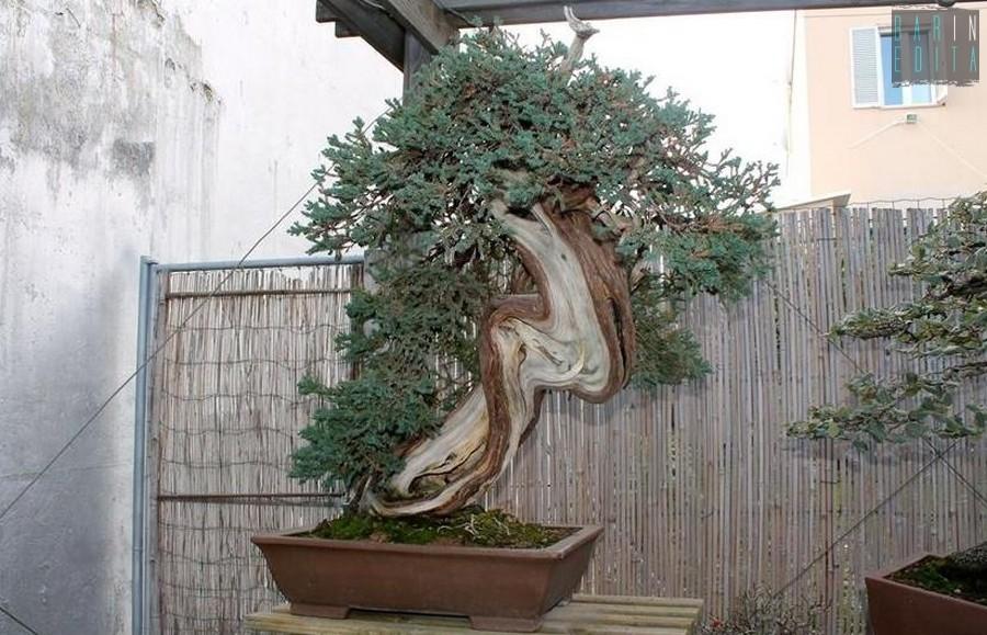 Bonsai e giardini zen galleria darte e fiori composizioni for Bonsai da interno