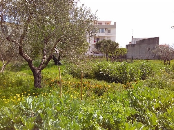 Piante Curative : Bitonto il giardino della mandragora «qui salviamo le