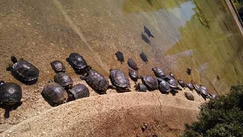 Parco 2 giugno nel lago tartarughe abbandonate diventano for Lago tartarughe